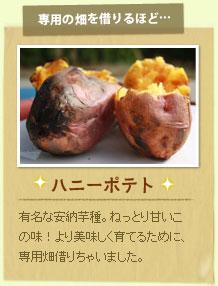 ハニーポテト:有名な安納芋種。ねっとり甘いこの味!より美味しく育てるために、専用畑借りちゃいました。