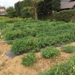 9月12日 千葉県山武市(旬菜里)落花生の収穫体験が開催されます。