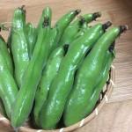 10月24日千葉県山武市(旬菜里)空豆の種付け体験を開催します。